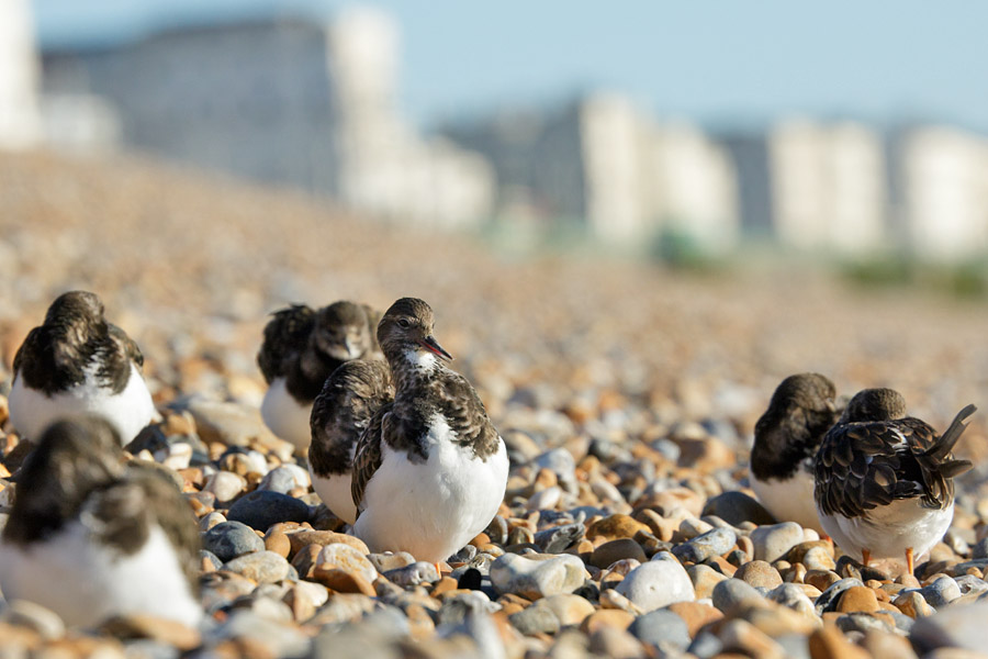 Turnstones at Brighton Beach