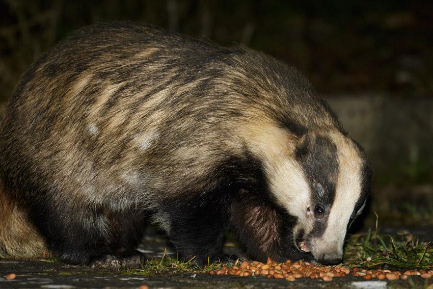 Badger eating peanuts in a suburban garden