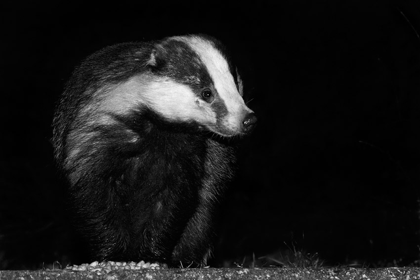 Black and White Badger