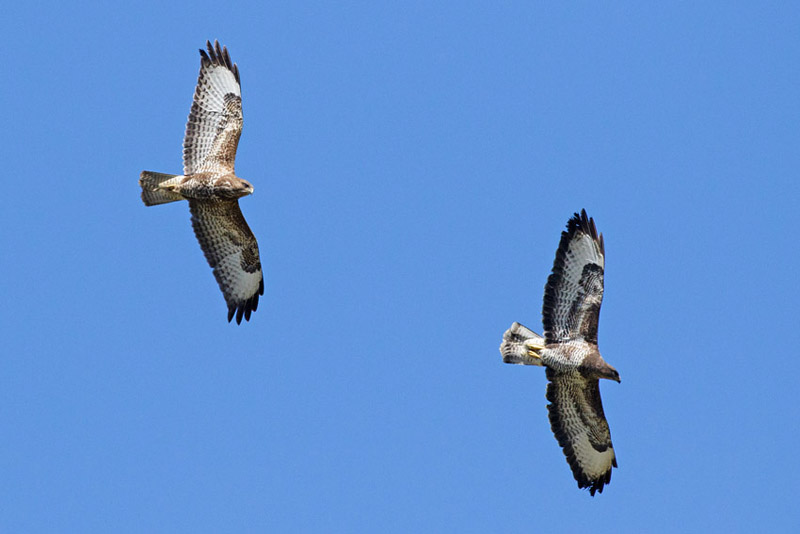 Pair of buzzards circling over the South Downs at Moulsecoomb, Brighton