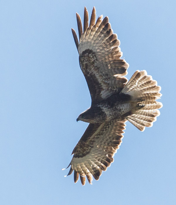 Buzzard over the South Downs at Moulsecoomb, Brighton