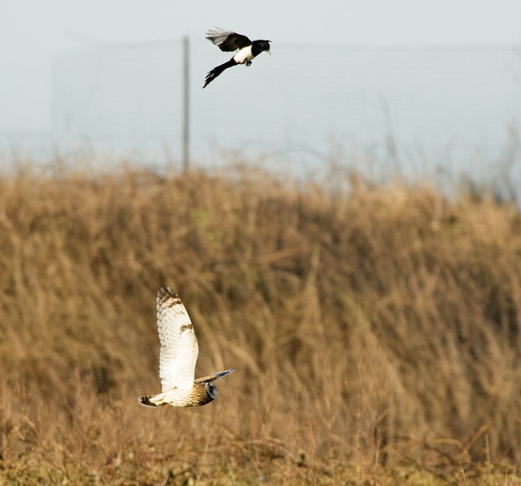 Short-eared owl being mobbed by magpies at Sheepcote Valley, Brighton