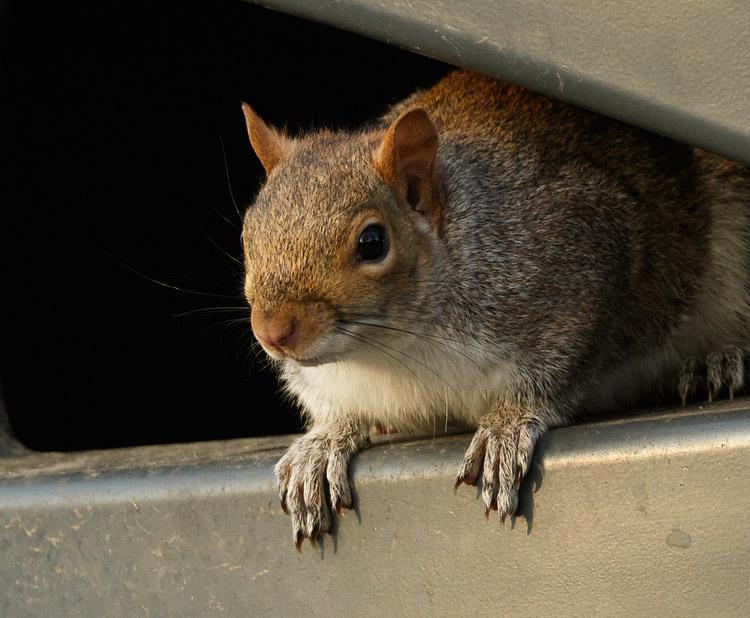 Grey squirrel in rubbish bin at University of Brighton, Moulsecoomb campus