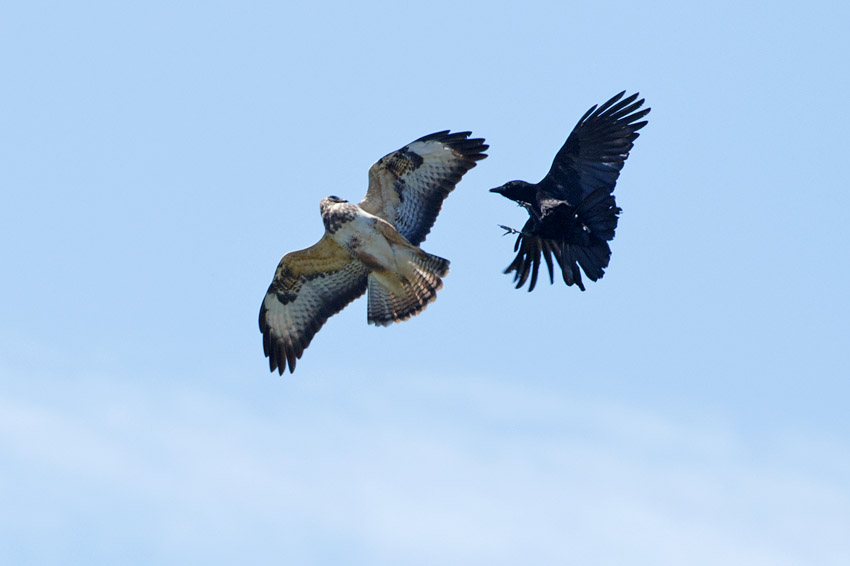 Buzzard being mobbed by a crow  at Moulsecoomb, Brighton