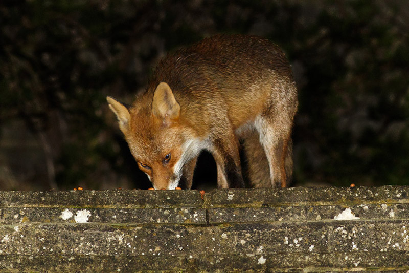 The first photo of a fox in the garden for quite some time. I was pleased despite the poor angle.