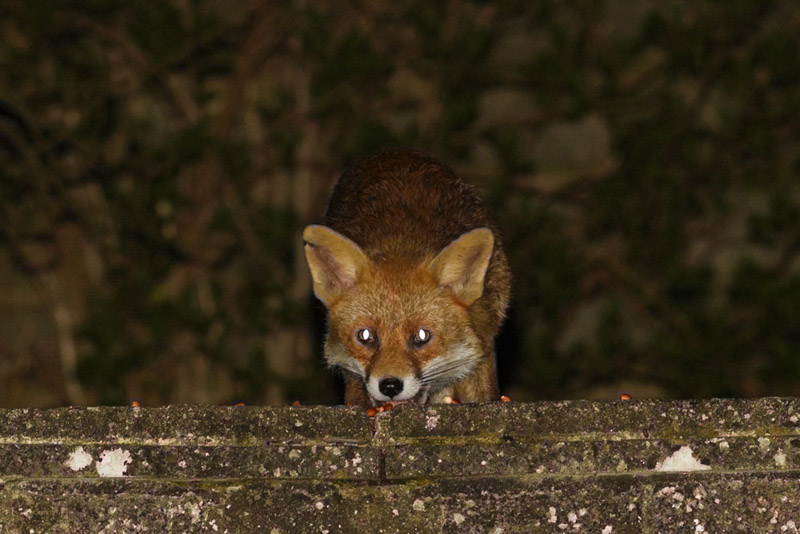 Nicked-ear fox