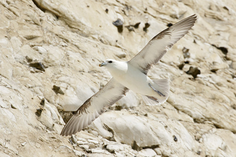 Today - a Fulmar at Rottingdean Cliffs
