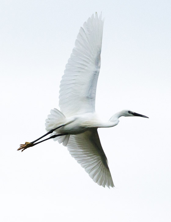 Little egret in flight over the South Downs, Sussex