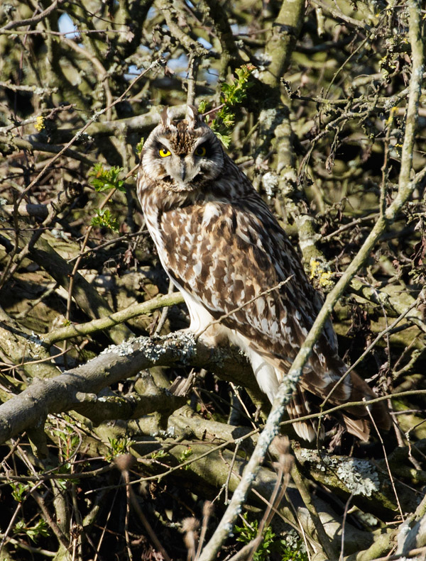 Short-eared owl at Sheepcote Valley, Brighton