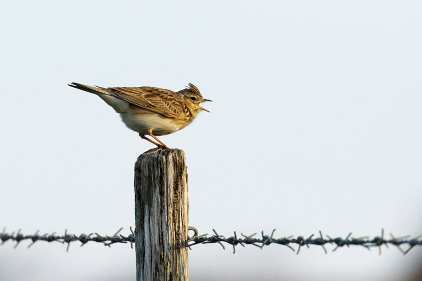 I spotted this skylark on a fencepost at Sheepcote Valley on my way in to work.