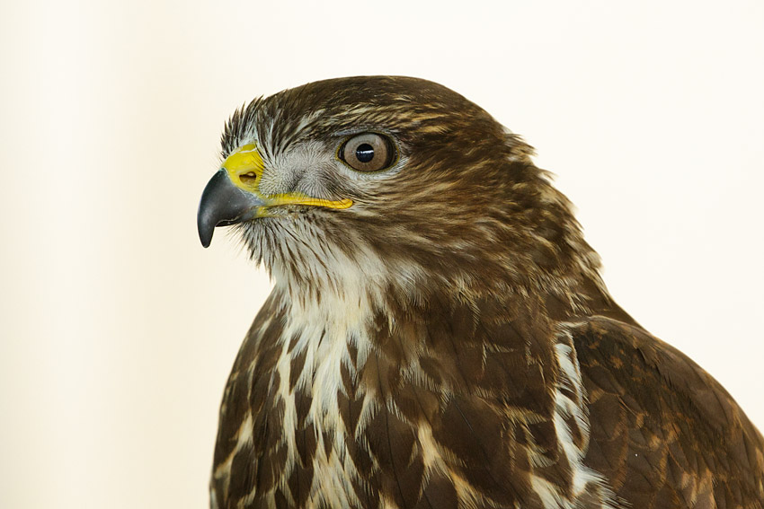 Buzzard (captive)