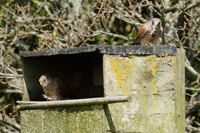 kestrel feeding