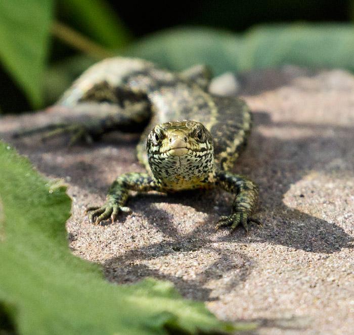 Common Lizard at University of Brighton, Moulsecoomb (Watts car park)