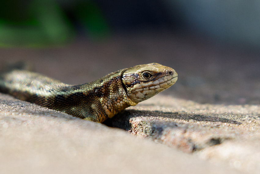 Common Lizard at University of Brighton, Moulsecoomb (Watts car park)