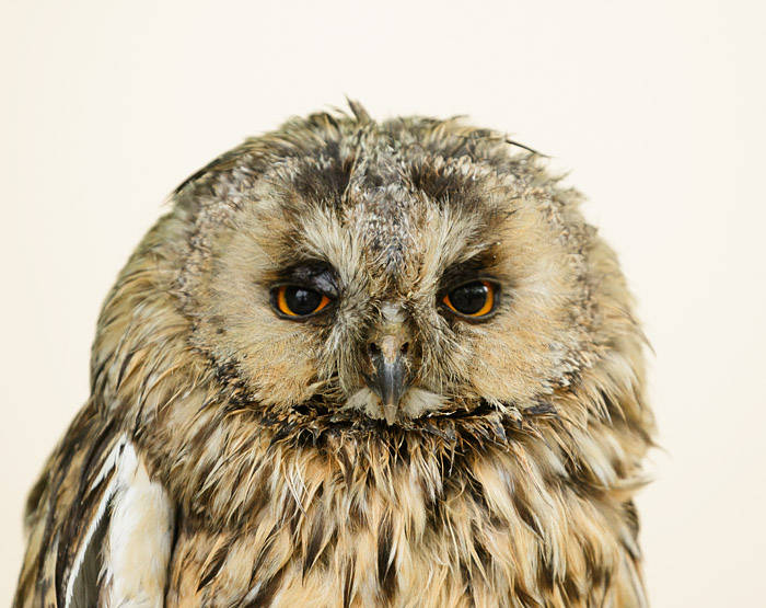 Long-eared owl (captive)