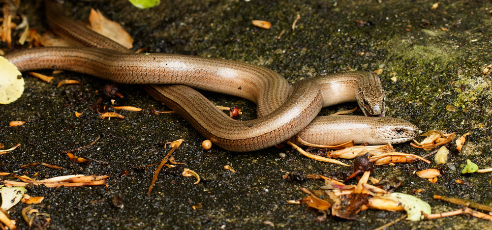 Slow worms at the start of mating