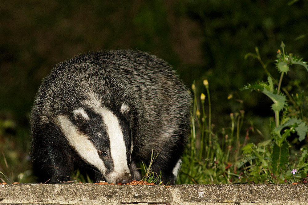 Badger in the garden at night