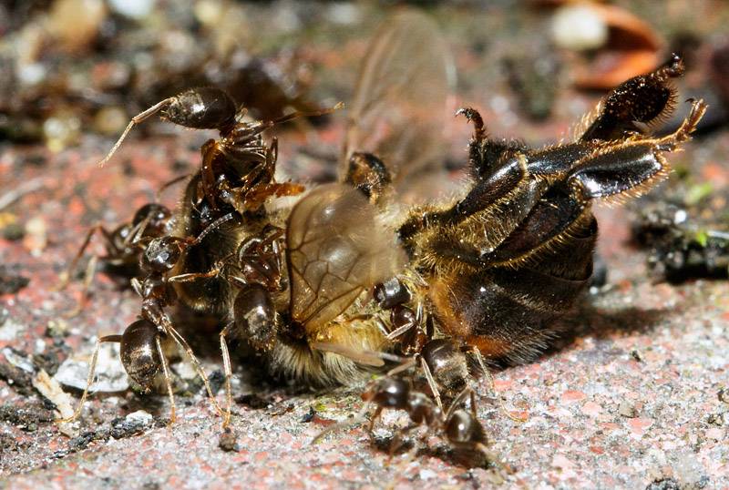 Ants swarming over a dead bee
