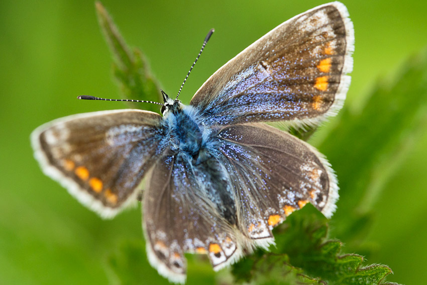 Common blue butterfly (female), Watts Bank, University of Brighton