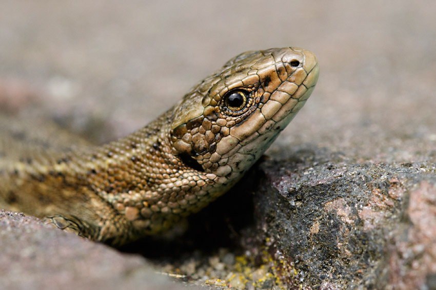 Common lizard at Watts bank, University of Brighton, Moulsecoomb