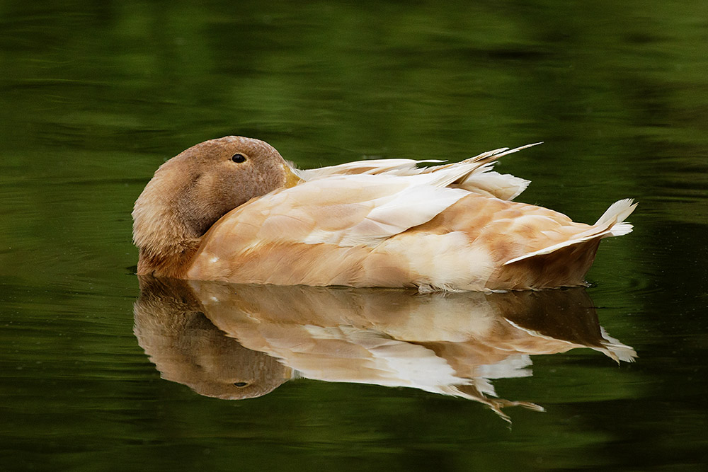 Duck reflected in Falmer pond