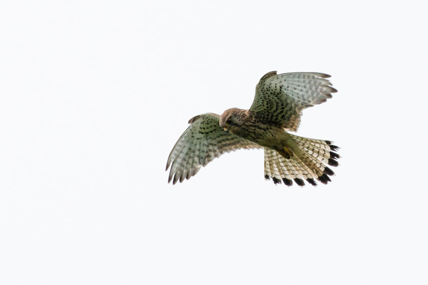Female kestrel at Sheepcote Valley, Brighton