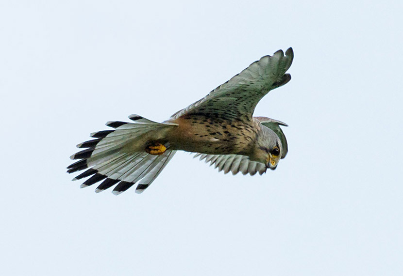 Male kestrel hovering over Sheepcote Valley