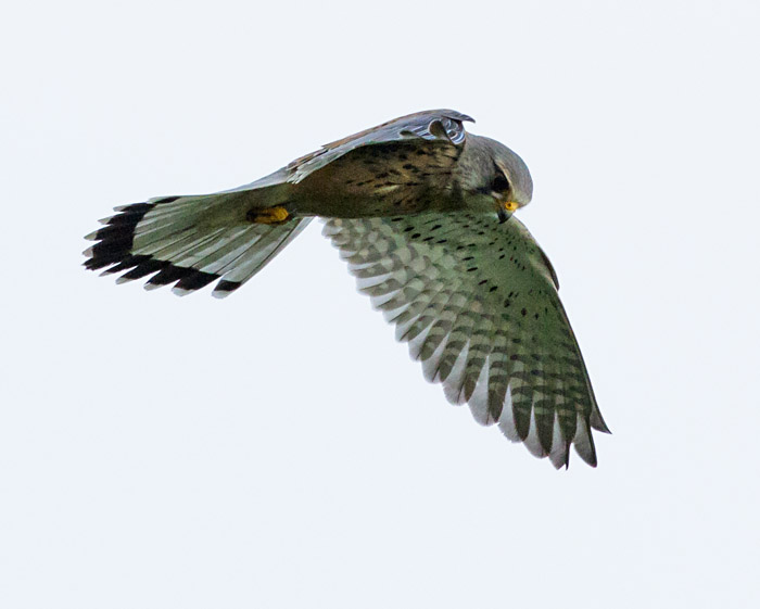 Kestrel at Sheepcote Valley, Brighton