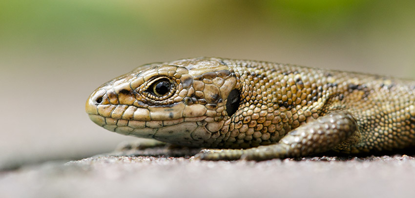 Brown lizard at Watts bank, University of Brighton, Moulsecoomb campus