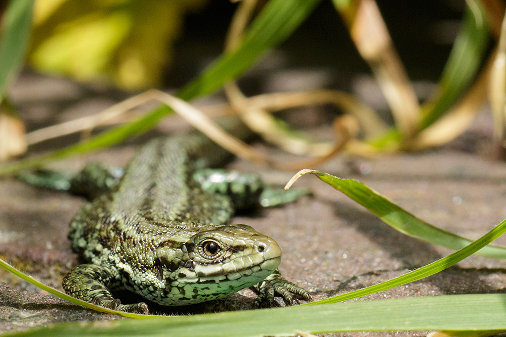 Common lizard at Watts bank, University of Brighton, Moulsecoomb campus