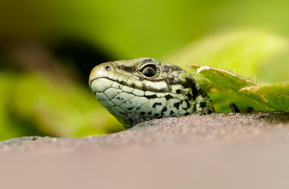 Common lizard campus