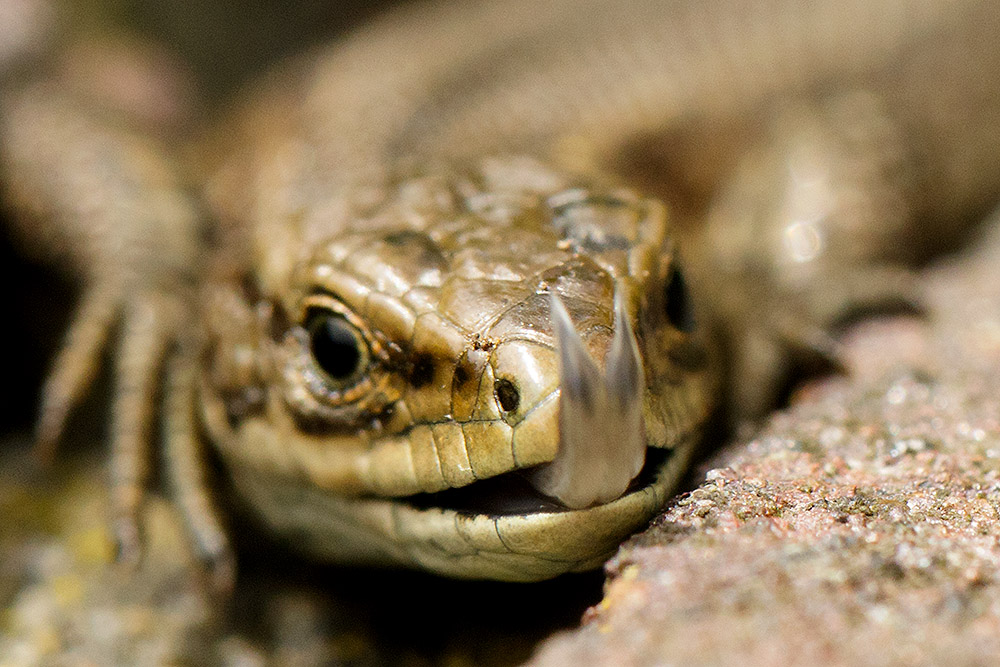 Common lizard showing forked tongue