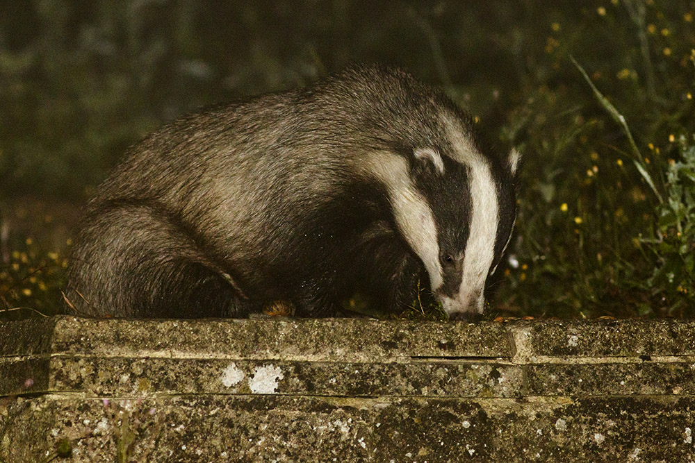 Badger tucking in to peanuts