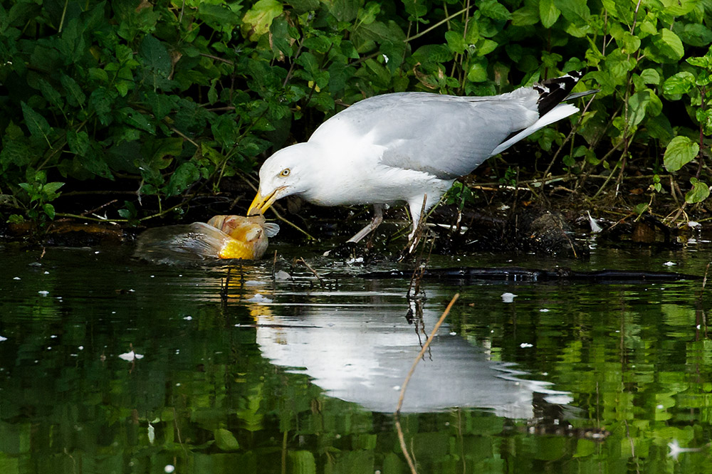 Herring gull catching goldfish at  Falmer Pond, East Sussex