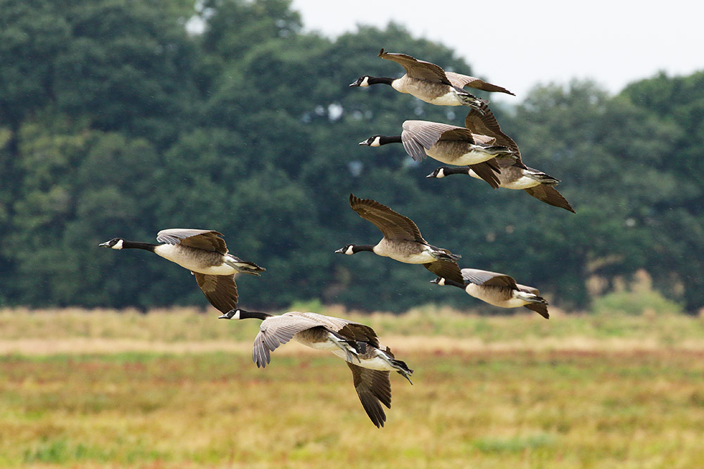 Flock of Canada Geese at Pulborough, West Sussex
