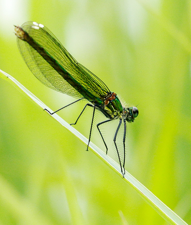 Demoiselle damselfly, Pulborough Brooks, Sussex