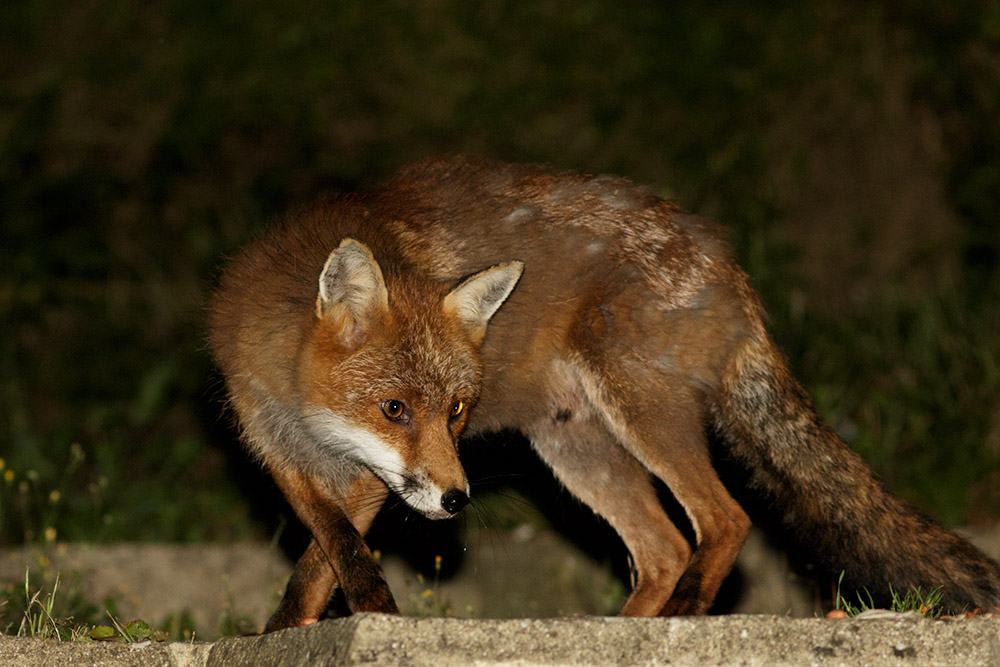 Fox at the rear of the garden