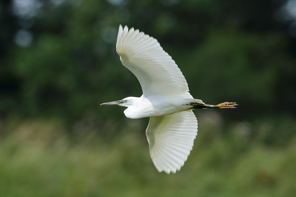 Little egret at Pulborough Brooks