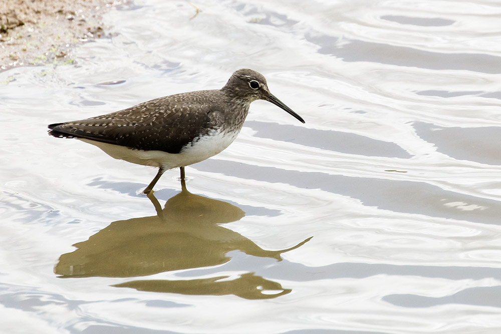 Common sandpiper at Pulborough Brooks