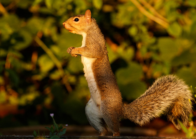 Grey squirrel in garden
