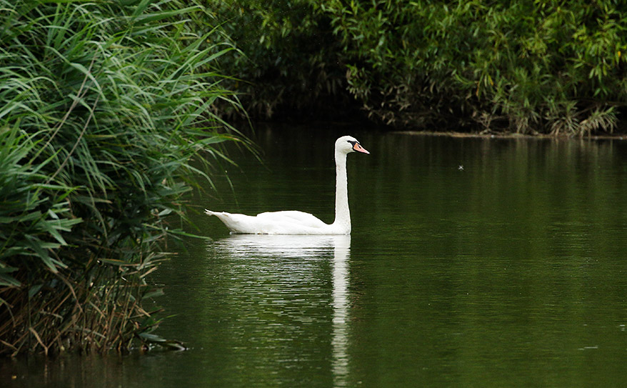 Mute swan at Pulborough Brooks, Sussex