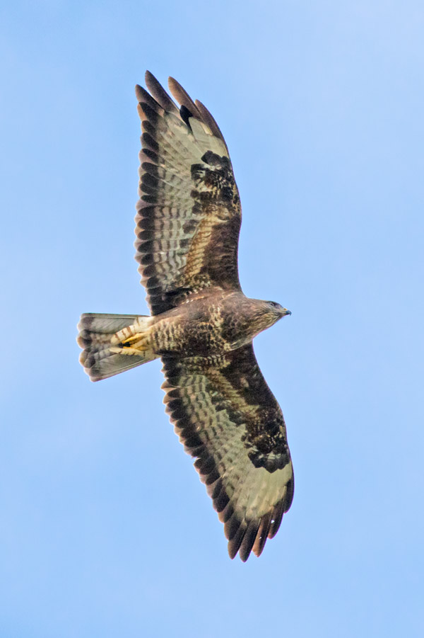 Buzzard over Falmer Village