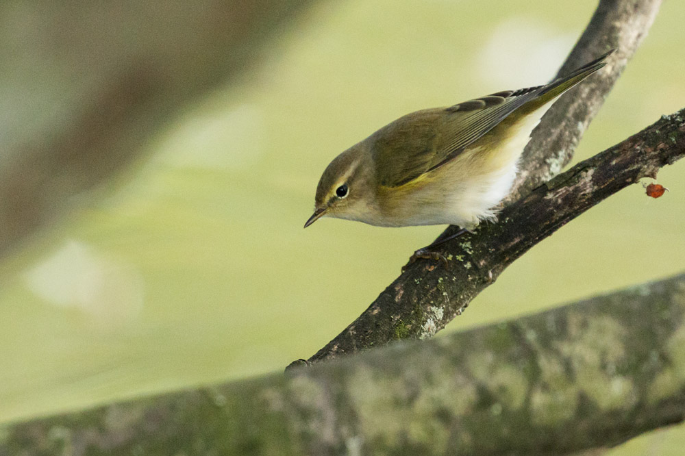 Chiffchaff at Falmer Pond