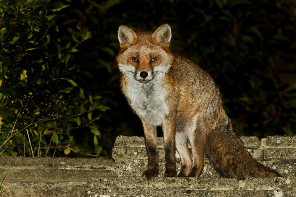 Fox waiting in the garden