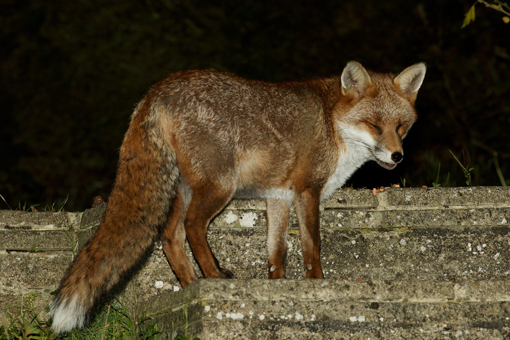 Fox on the garden steps