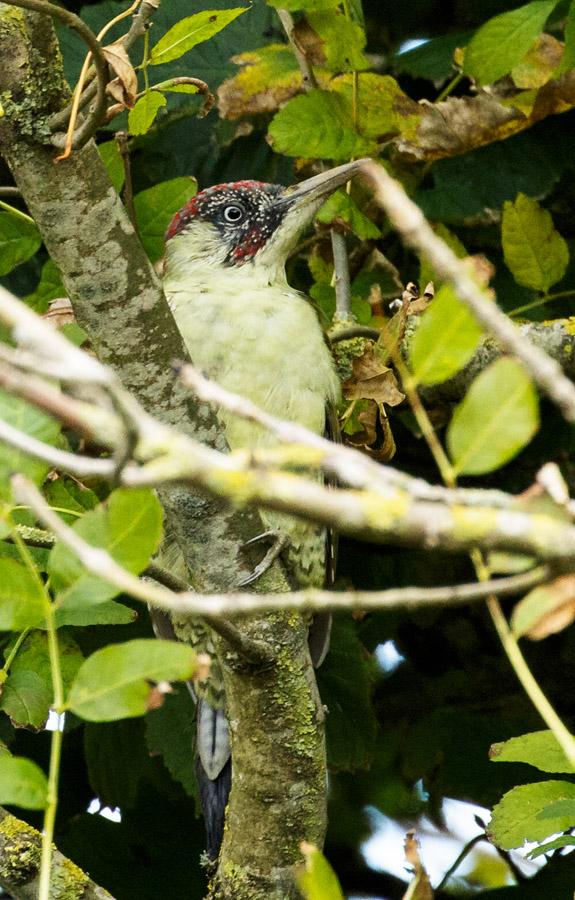 Green Woodpecker at , University of Brighton Falmer campus