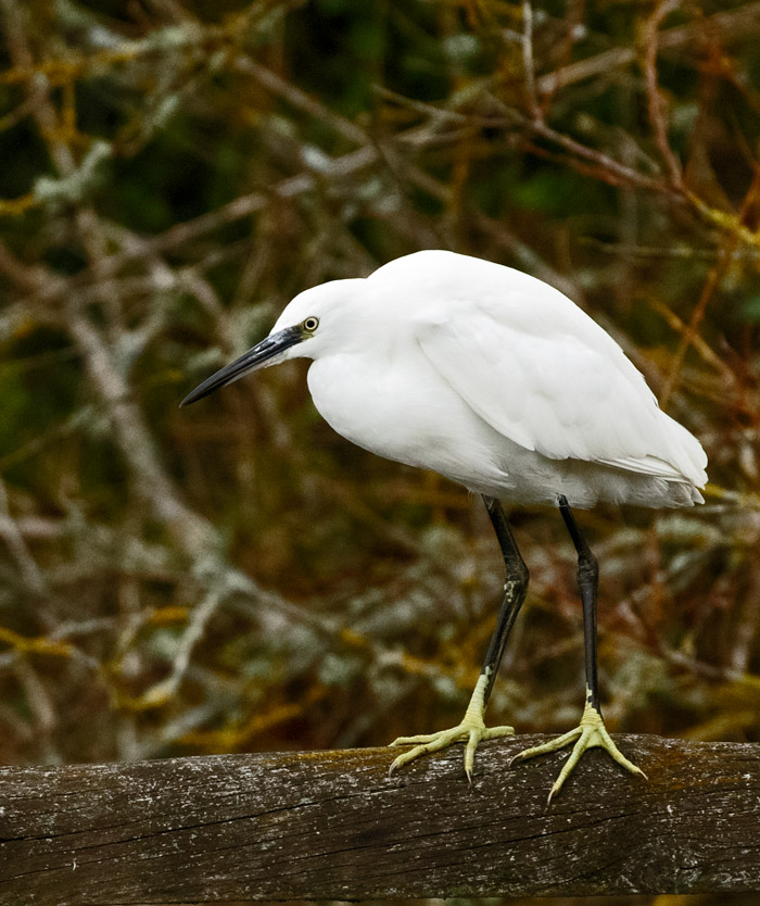 Little Egret on a fence