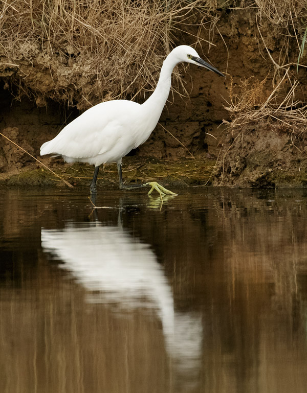 Little Egret at Seven Sisters Country Park, East Sussex