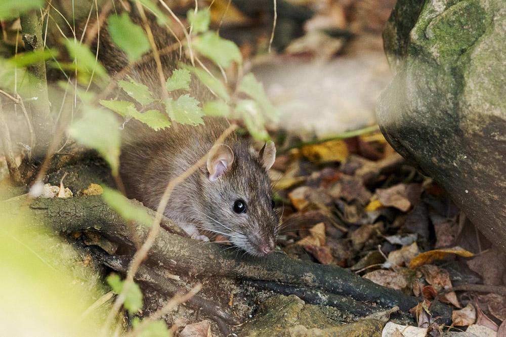 Rat at Falmer Pond