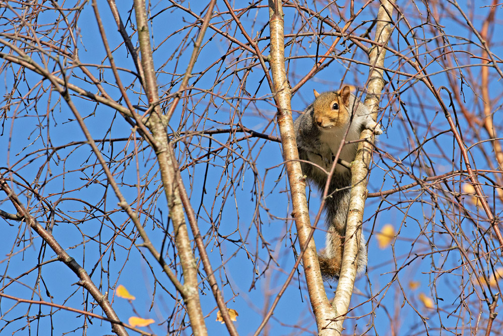 Grey squirrel at Watts Bank, University of Brighton